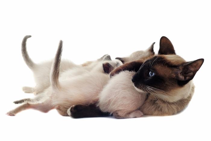 シャム猫キャットフードの選び方