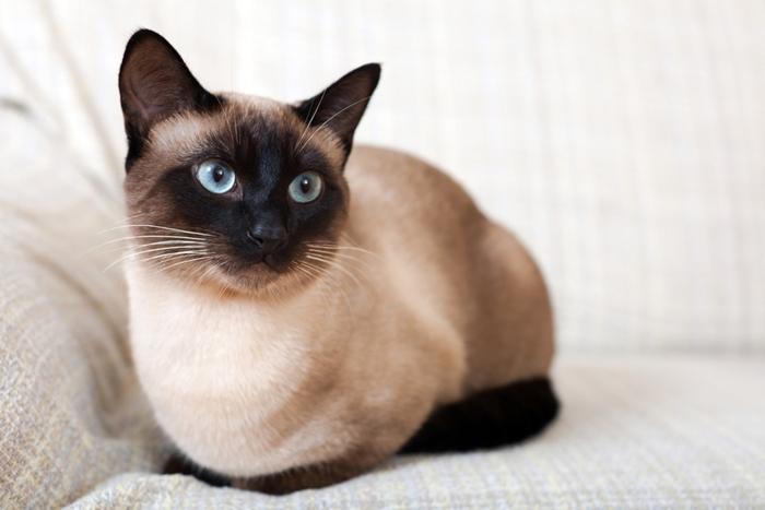 シャム猫の毛質を考えた餌の選び方