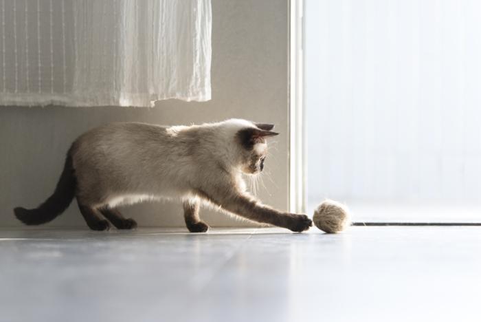 シャム猫の肥満対策