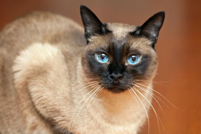シャム猫は神経質