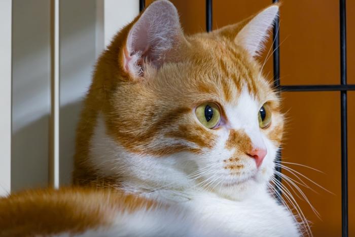 シャム猫とゲージ