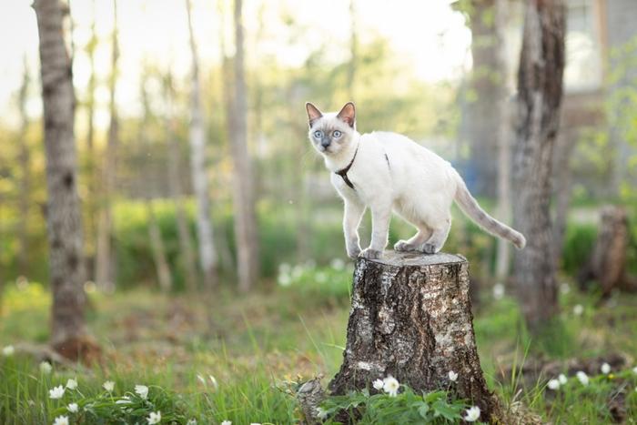 シャム猫は好奇心旺盛