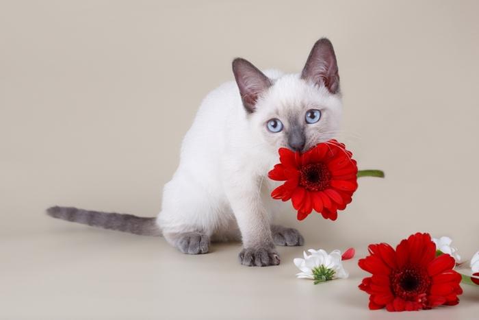 シャム猫はいたずら好き