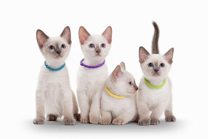 シャム猫のオスメスの性格