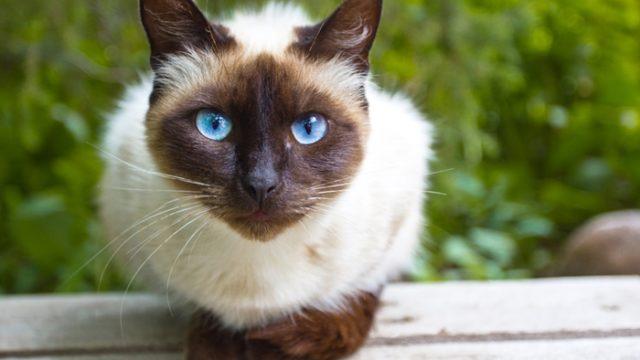 シャム猫に与えるキャットフードの選び方とおすすめを徹底解析
